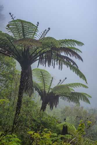 Tree Ferns in New Zealand