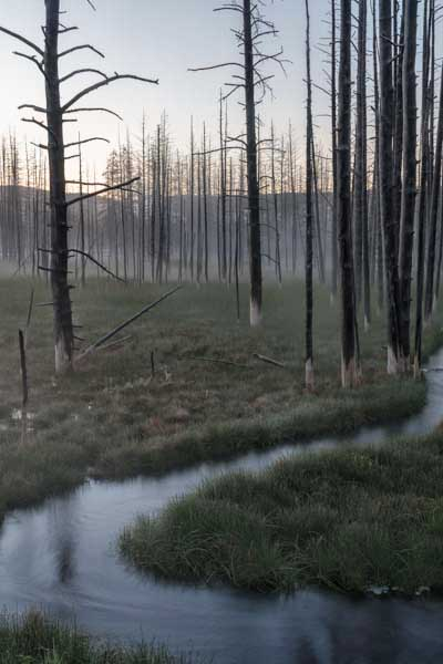 Yellowstone's Tangled Creek Dead Trees