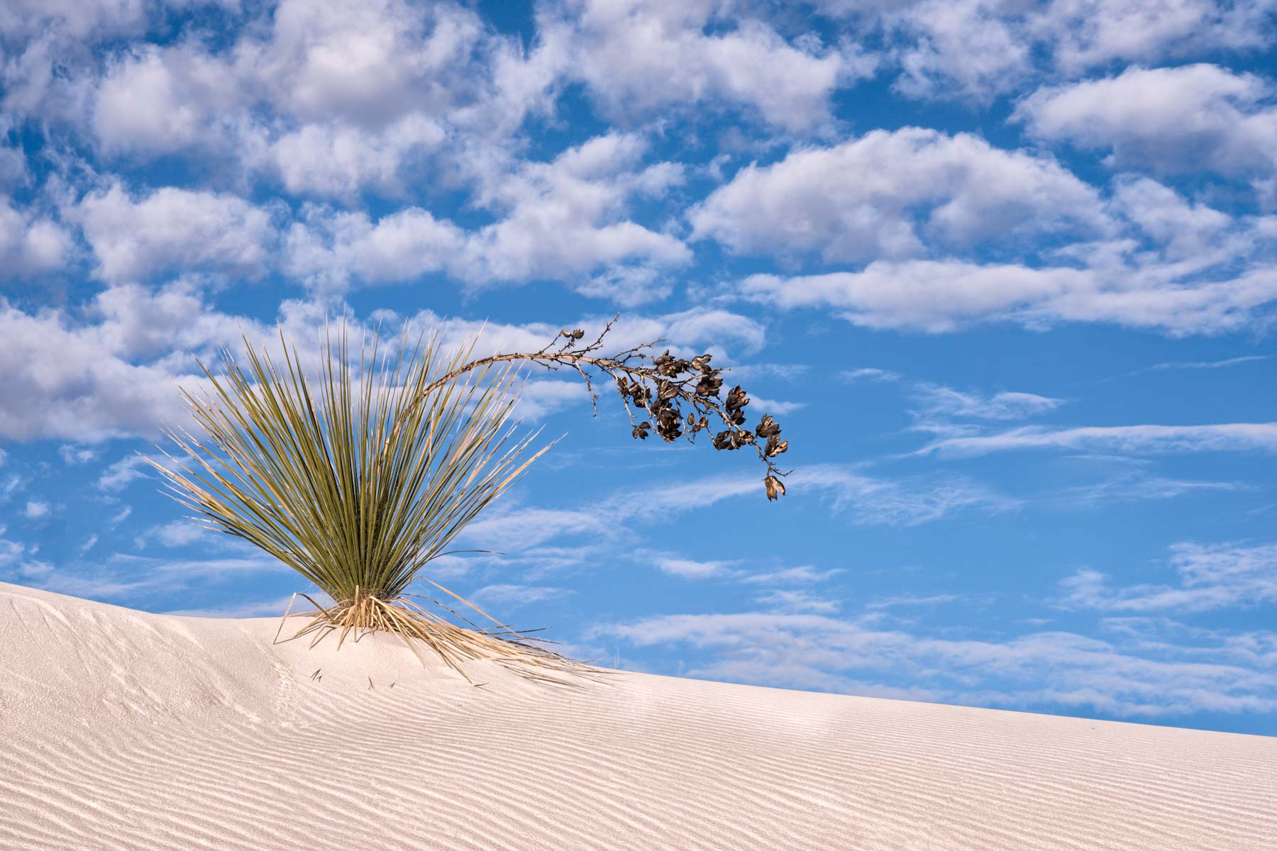 Top Heavy Yucca in White Sands National Park